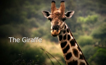 giraffe video pic